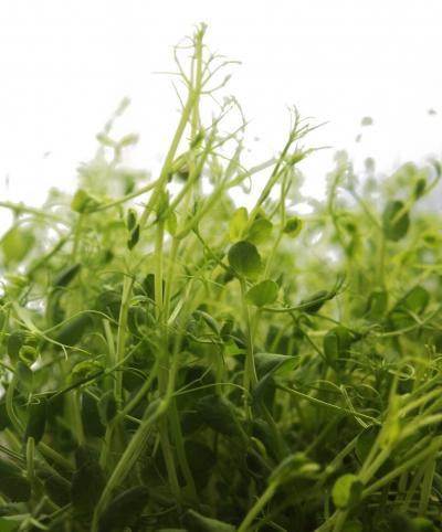 Microgreens Erbsen