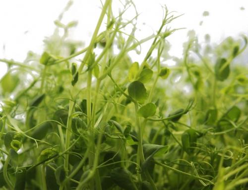 Nährstoffwunder: Microgreens
