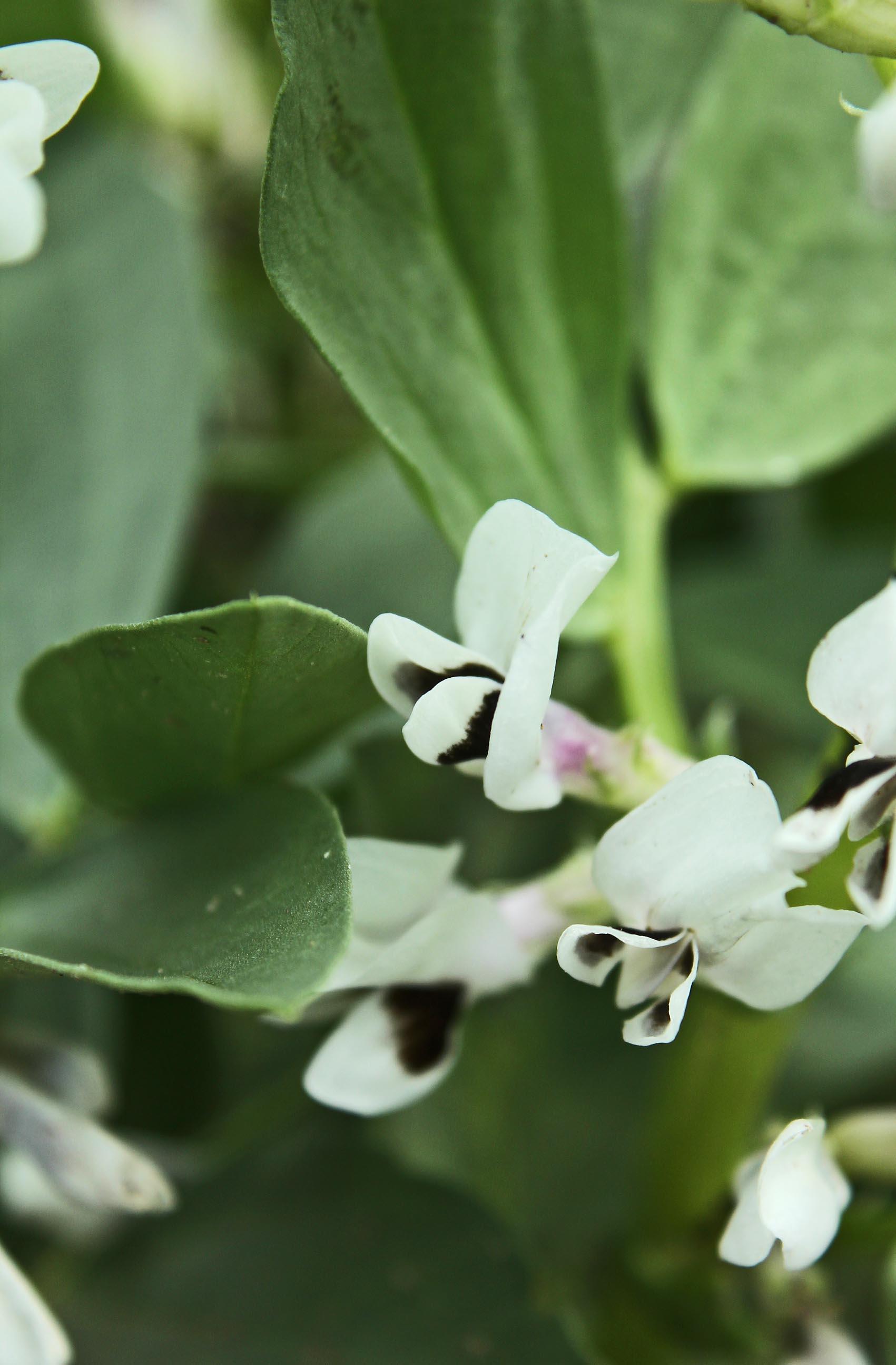 Ackerbohnen-Blüte