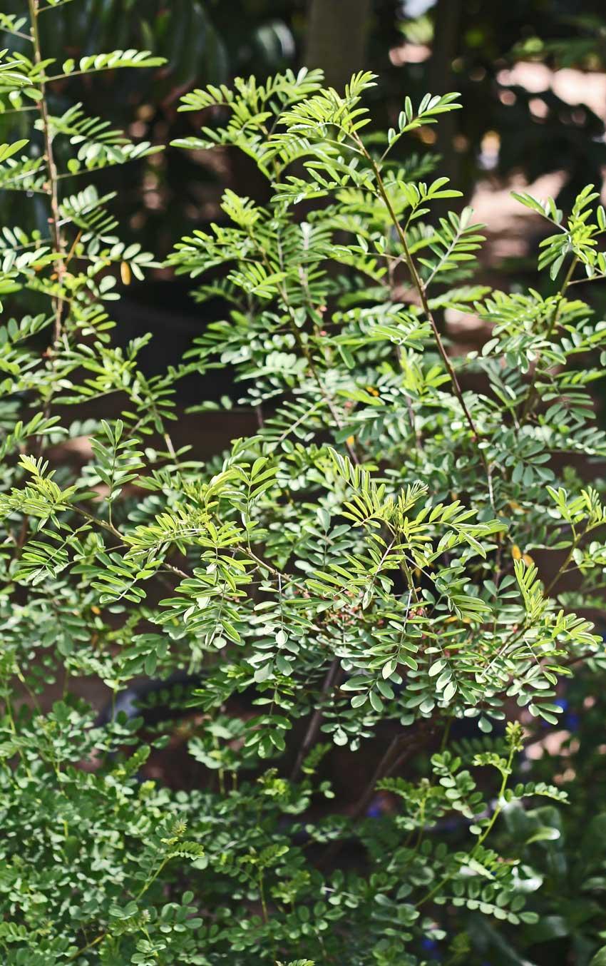 Indigo-Baum