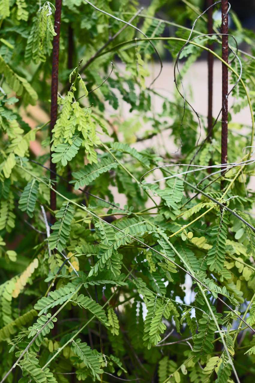 Paternostererbsen-Pflanze